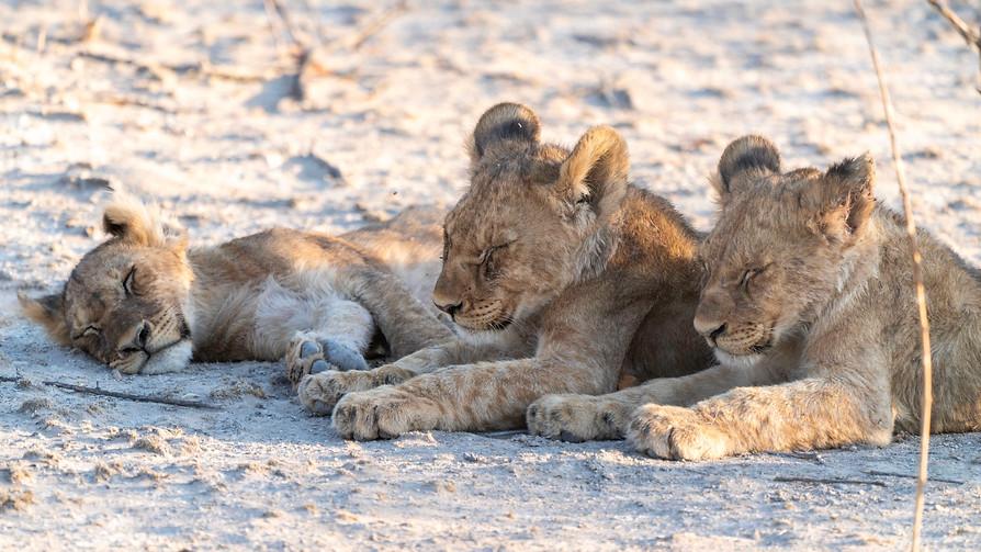 Lion cubs - nap time