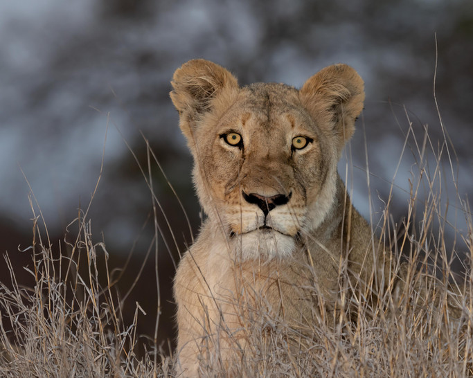 A lioness at dusk