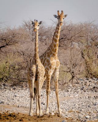 A pair of giraffs