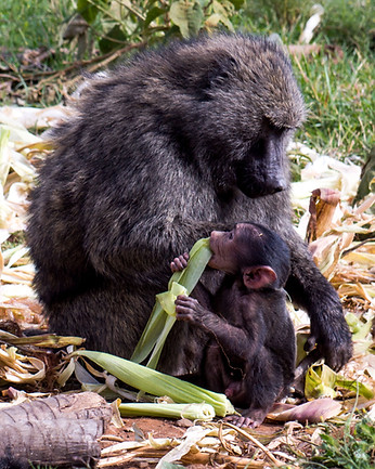 Baboon - mother and child