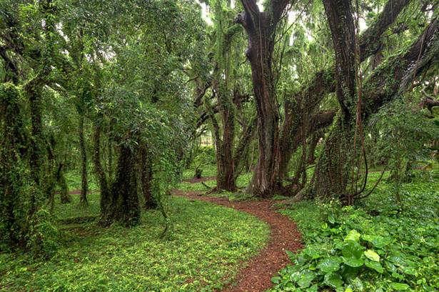 Honolua Forest, Maui