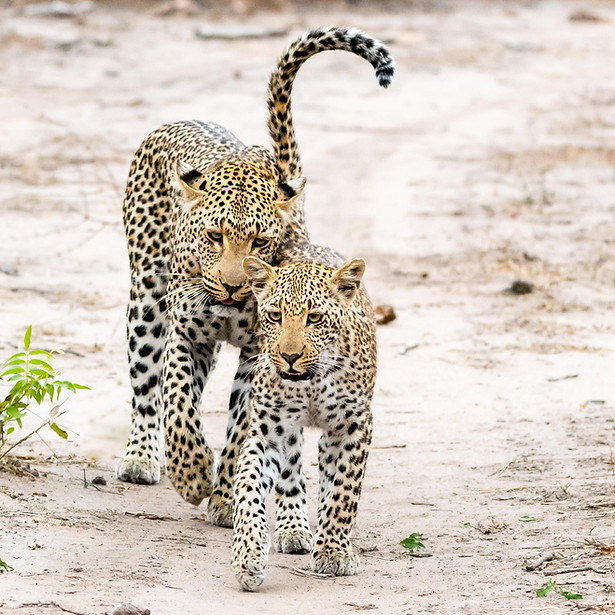 African leopard mother and cub