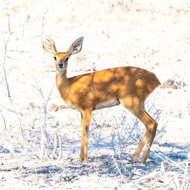 Steenbock antelope