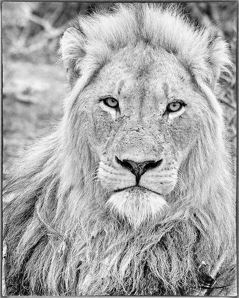 Adult male African Lion