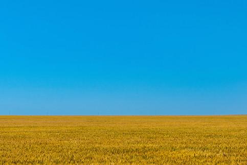 Golden wheat fields under blue skies