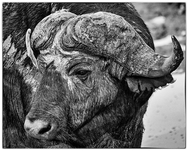 Cape/African buffalo