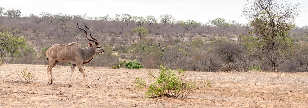 Male kudu (antelope)