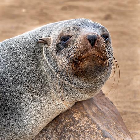 Fur seal at Cape Cross