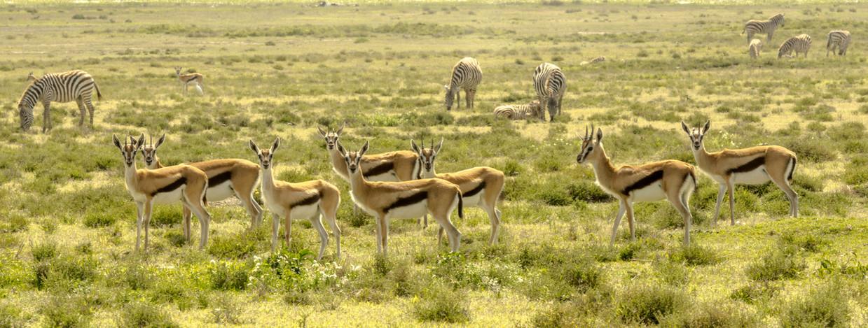 Thompson antelopes on Crescent Island