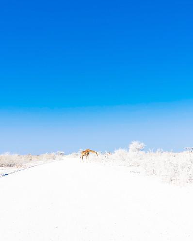 A giraffe in the snow