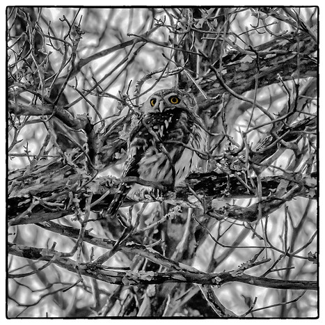 The Pearl Spotted Owlet