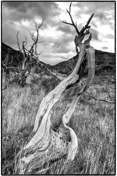 Dead Tree Forest