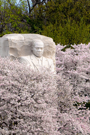 Martin Luther King standing tall amoung the cherry blossoms