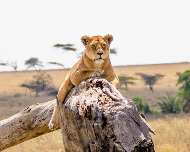 Queen of the Serengeti