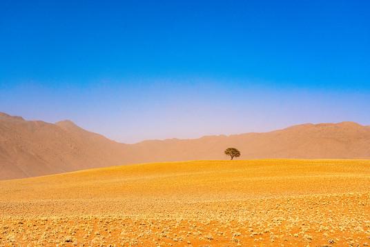 Lone tree in the Namib Desert