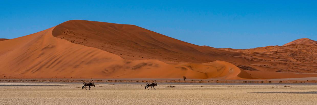 Oryx trekking across the desert