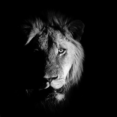 African lion in the dark