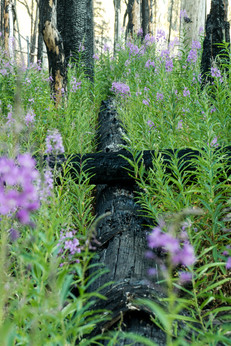 Fire weed and charred trunks