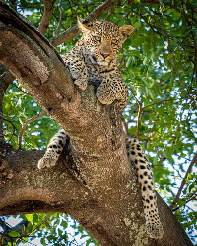 African leopard cub