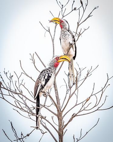 Southern yellow-billed hornbills