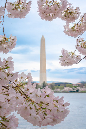The Monument through the blossoms