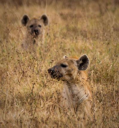 Hyenas in the grass