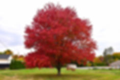 Native Red Maple