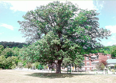 Chinquapin Oak