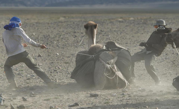 Loading a Bactrian camel