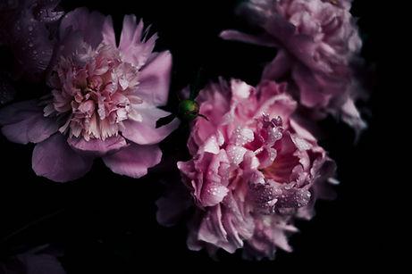 pivoine-rose-fond-noir