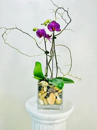 RICH PURPLE ORCHID PLANT