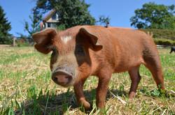 apfelbecks Freilandschwein
