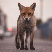 "Female urban fox ""mum"""