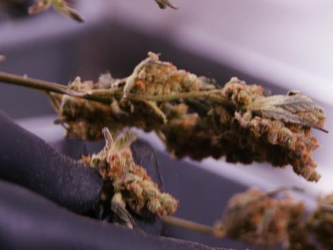 Crux Cannabis_ProductReel.mp4