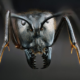 128 - B1 - Camponotus.jpg