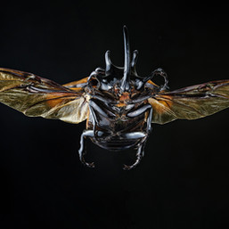 128 - B4 - Eupoatorus gracilicornis.jpg