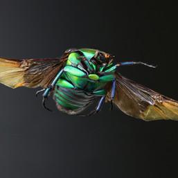 128 - B2 - Cetonia in volo.jpg