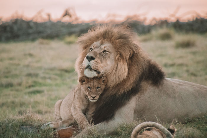 Father and Son lions.jpg