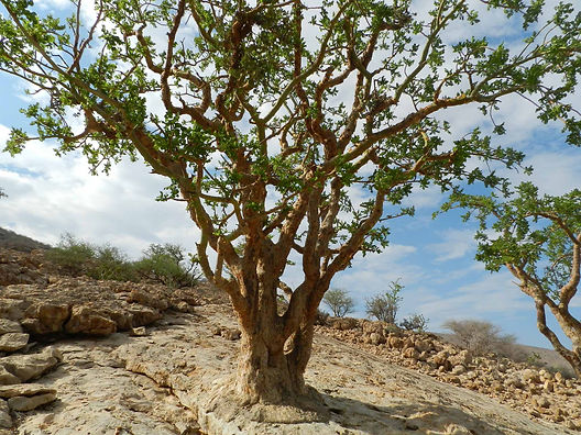 Dummy Maydi Frankincense Tree.jpg