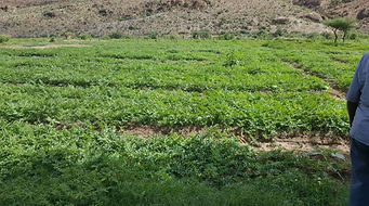 Maydi Frankincense crop planting program