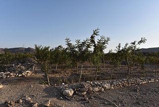 Maydi frankincense pilot tree planting p