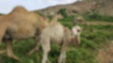 Maydi Frankincense local camels.jpg