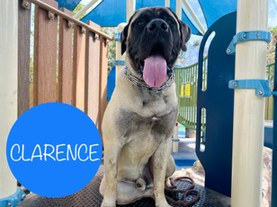 Clarence | English Mastiff | Los Angeles, California