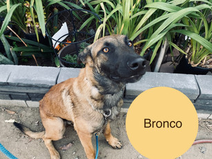Bronco | Belgian Malinois | Oxnard, CA | In-Training