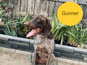 Gunner | German Shorthaired Pointer | Rancho Cucamonga, CA | In Training
