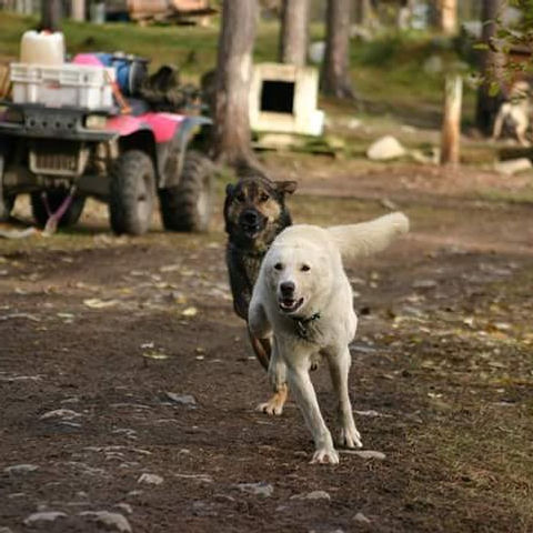 Duval & Jock runing to the starting area in our kennel to get their harnesses on