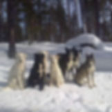 A group of alskan huskies enjoying the sunshine together in winter