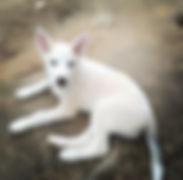 Alaska Husky puppy