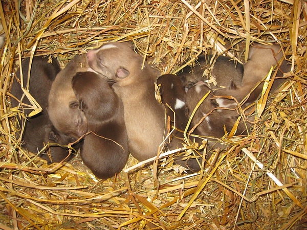 Husky puppies cuddled up together in the straw