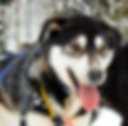 Smukk, main wheel dog and racing dog
